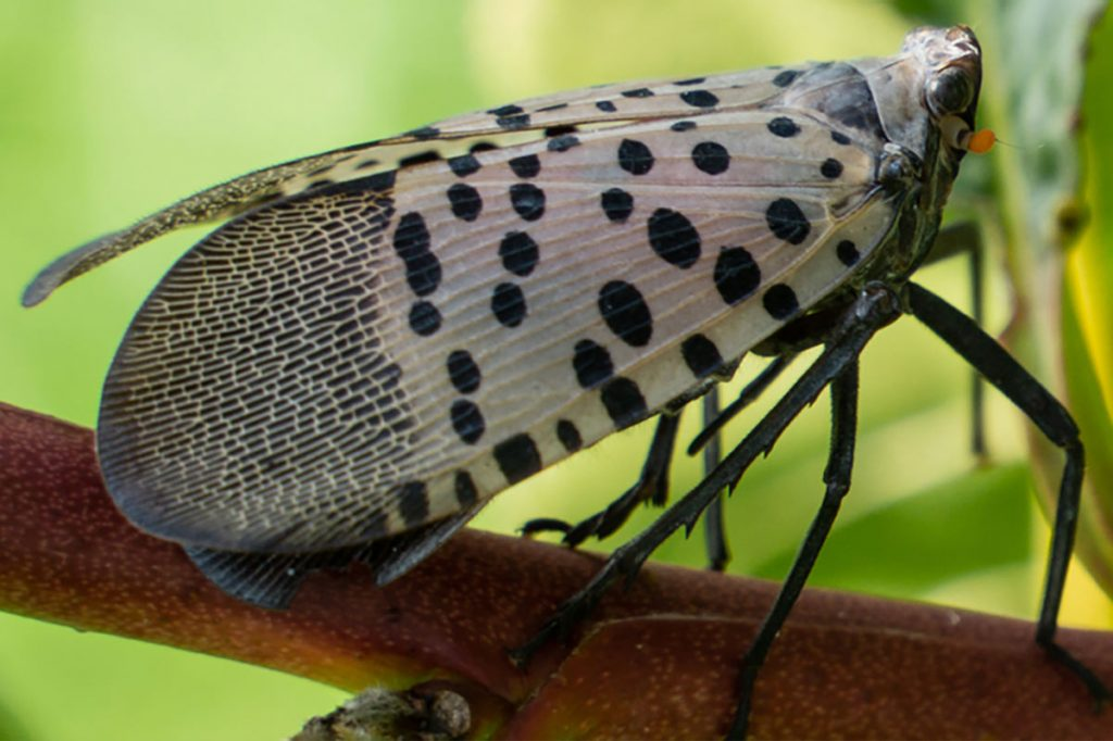 NEWS ALERT: Invasive Spotted Lanternfly Threatens Michigan Agriculture